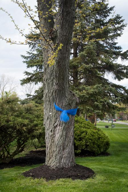 Blue ribbons tied around an oak tree is a symbol of gratitude and solidarity with health care workers.Taken by Rachel Elise Thomas for WDET